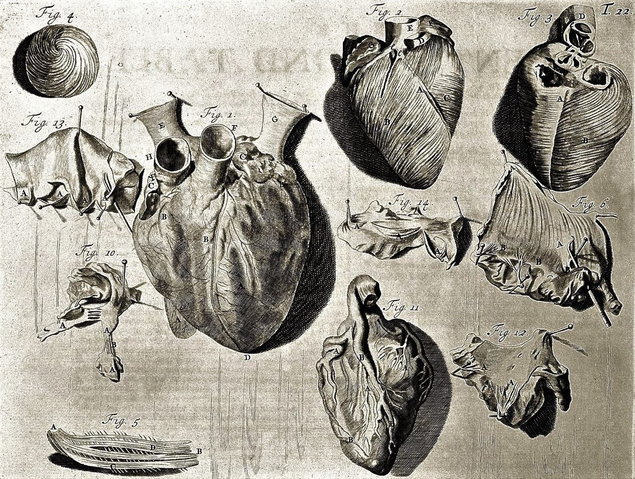 L0000339 Heart illustration, 18th century